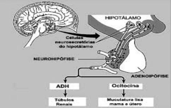 hormônio hipot
