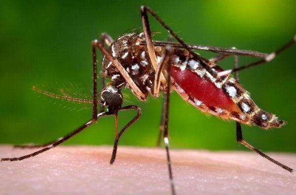 como evitar a febre amarela Aedes-aegypti