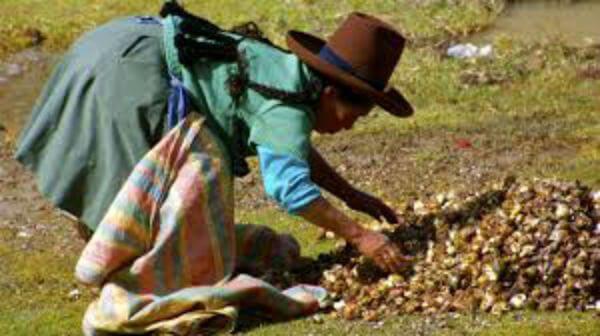benefícios da maca peruana para fertilidade colheta