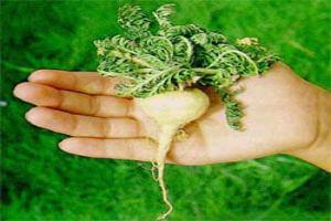 benefícios da maca peruana para fertilidade